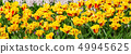 yellow and red tulips with water drops, flowerbed 49945625