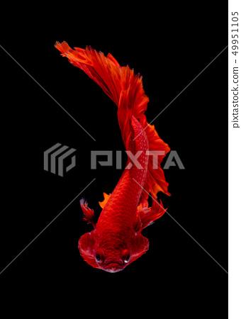 Betta fish koi fish kohaku Red White 49951105