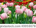 Tulip flowers in garden . Pink and red color . 49956678