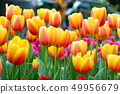 Tulip flowers in garden . Orange and pink color . 49956679