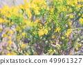 골든 크래커의 꽃 49961327