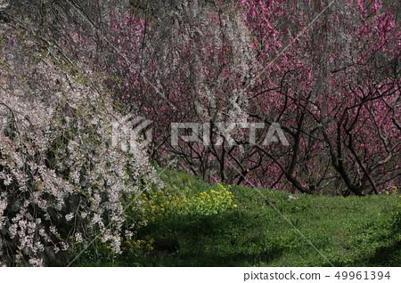 사쿠라 모모 · 유채 꽃 49961394