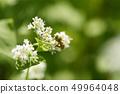 메밀의 꽃과 꿀벌 메밀 꽃 메밀 꽃 꿀벌 양봉 꿀벌 곤충 꿀 49964048