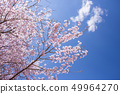 Cherry tree in full bloom 49964270
