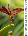 Red dragonfly close up 49965309