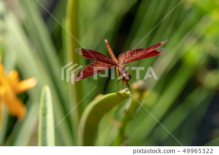 紅色蜻蜓關閉 49965322