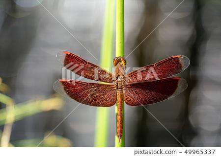 紅色蜻蜓關閉 49965337