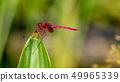 紅色蜻蜓關閉 49965339