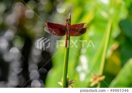 紅色蜻蜓關閉 49965346