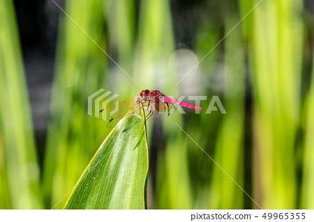 紅色蜻蜓關閉 49965355