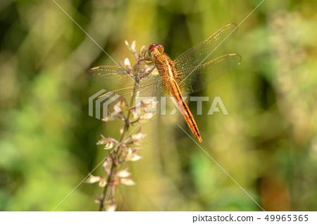 紅色蜻蜓關閉 49965365