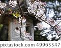 櫻花和燈籠 49965547