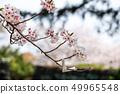 櫻花和財富2 49965548