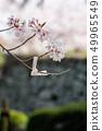 櫻花和Omikuji 49965549