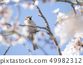 Cherry blossoms and sparrow 49982312