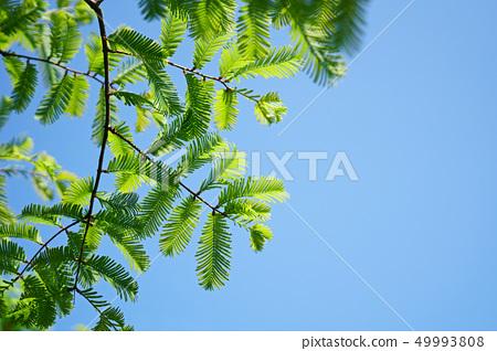水杉葉子像鳥的羽毛 49993808