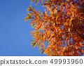 水杉秋葉與美好的橙色顏色的 49993960