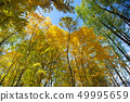 Sky view through the trees of a forest in autumn. 49995659