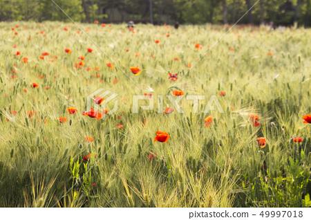 양귀비 꽃밭을 촬영한 사진입니다. 49997018