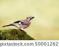 Eurasian Jay perched on a mossy tree trunk 50001262