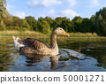 Greylag goose in the pond on a a sunny summer day 50001271
