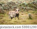 Common Warthog standing in the grassland 50001290