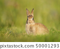 Close up of European Rabbit sitting in the grass 50001293