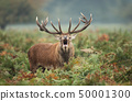 Red deer stag calling during rutting season  50001300
