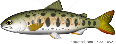 Amago (Amego edulis) illustration vector 50011852