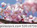 樱花,蜜蜂,采花蜜,桜、ミツバチ、蜜、Cherry blossoms, bees, nectar, 50016730