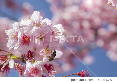 櫻花,蜜蜂,花蜜,櫻花,蜜蜂,花蜜,櫻花,蜜蜂,花蜜, 50016731