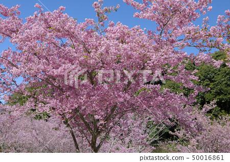 櫻花季節,櫻花,櫻花,櫻花,櫻花季節,櫻花,賞櫻花 50016861