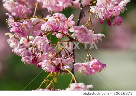 櫻花季節,櫻花,櫻花,櫻花,櫻花季節,櫻花,賞櫻花 50016875