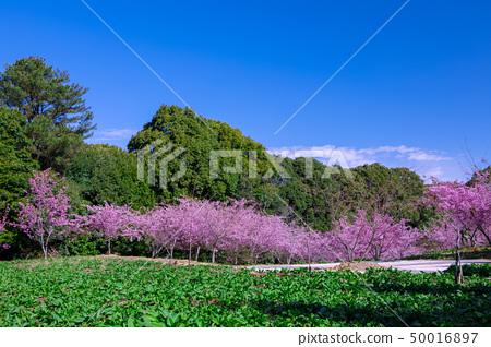 櫻花季節,櫻花,櫻花,櫻花,櫻花季節,櫻花,賞櫻花 50016897