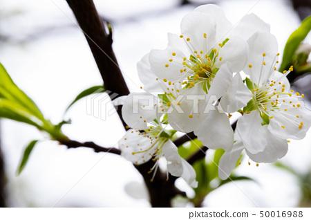 白梅花,梅花,初春,白梅、梅、早春、White plum, plum, early spring, 50016988