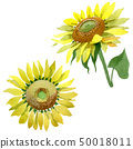 ทานตะวัน,ดอกไม้,ฤดูร้อน 50018011