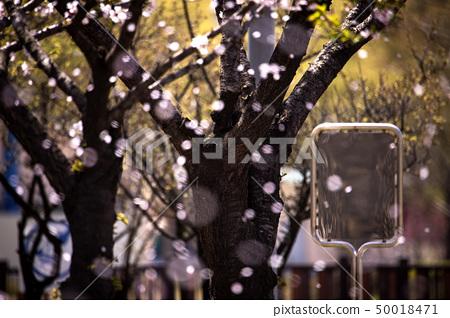 벚나무에서 떨어져 흩날리는 벚꽃잎 50018471
