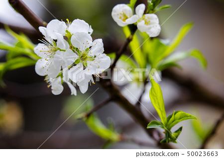 白梅花,梅花,初春,白梅、梅、早春、White plum, plum, early spring 50023663