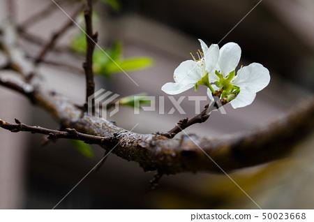 白梅花,梅花,初春,白梅、梅、早春、White plum, plum, early spring 50023668