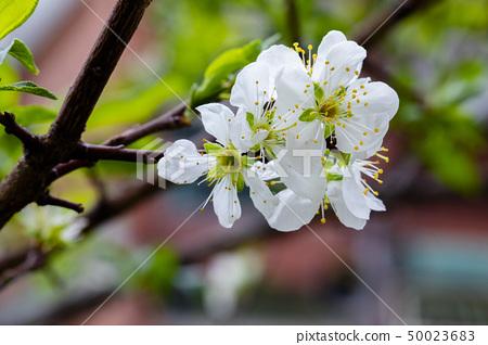 白梅花,梅花,初春,白梅、梅、早春、White plum, plum, early spring 50023683