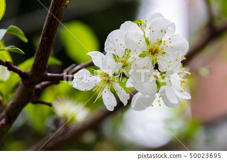 白梅花,梅花,初春,白梅、梅、早春、White plum, plum, early spring 50023695