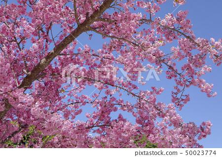櫻花季節,櫻花,櫻花,櫻花,櫻花季節,櫻花,賞櫻花 50023774