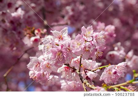 櫻花季節,櫻花,櫻花,櫻花,櫻花季節,櫻花,賞櫻花 50023788