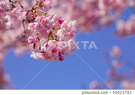樱花季节,樱花,樱花,樱花,樱花季节,樱花,赏樱花 50023792