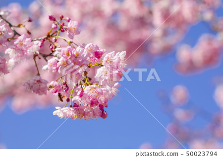 櫻花季、櫻、賞櫻、桜の季節、さくら、花見、Cherry blossom season, cherry 50023794
