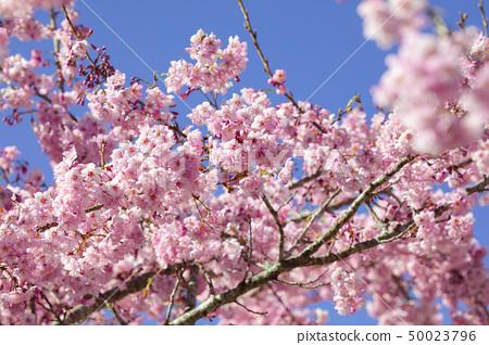 櫻花季節,櫻花,櫻花,櫻花,櫻花季節,櫻花,賞櫻花 50023796