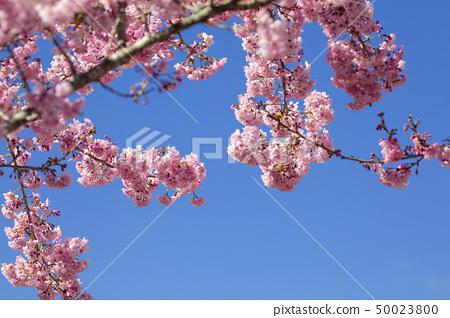 櫻花季節,櫻花,櫻花,櫻花,櫻花季節,櫻花,賞櫻花 50023800