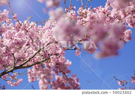 櫻花季節,櫻花,櫻花,櫻花,櫻花季節,櫻花,賞櫻花 50023802