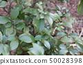 Hisaki Young Tree 50028398