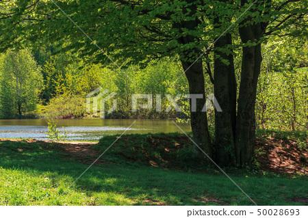 beech tree on the shore of a lake 50028693